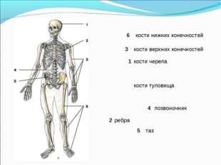кости нижних конечностей кости черепа кости туловища ребра позвоночник кости