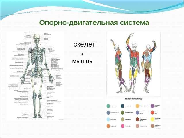 Опорно-двигательная система скелет мышцы +