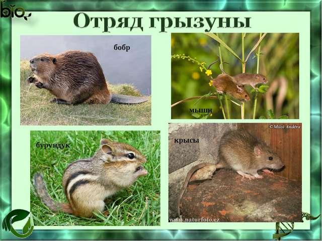 бобр мыши бурундук крысы