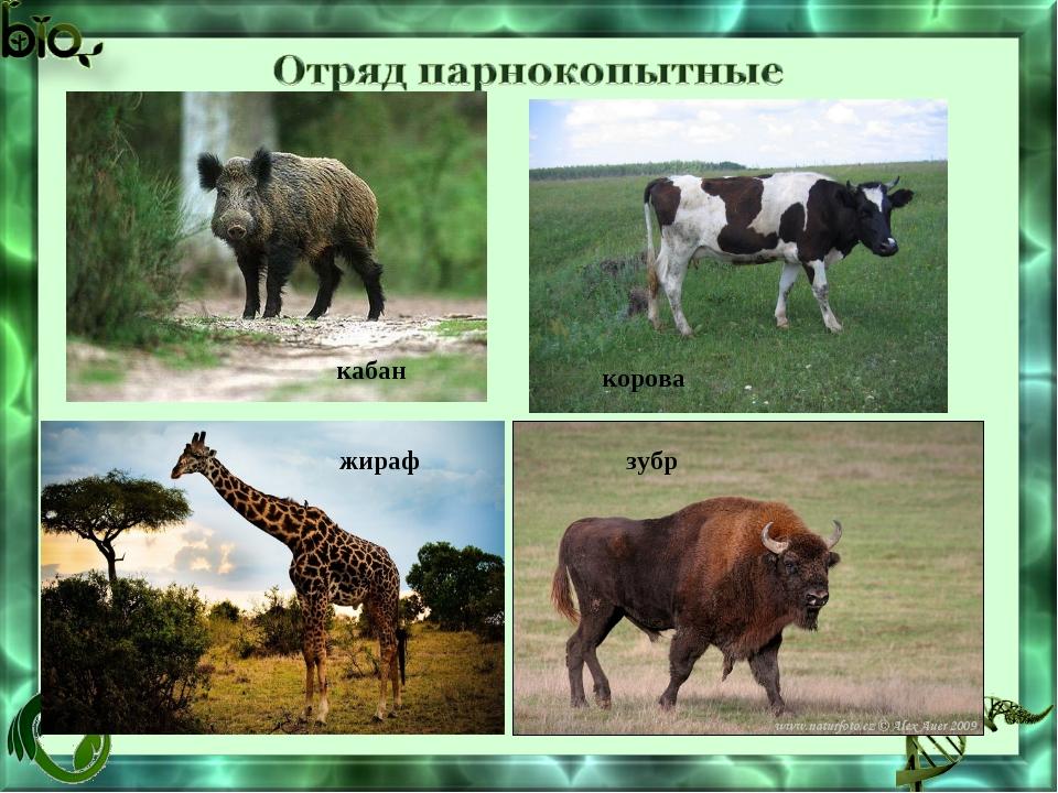 кабан корова жираф зубр