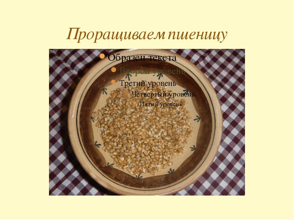 Проращиваем пшеницу