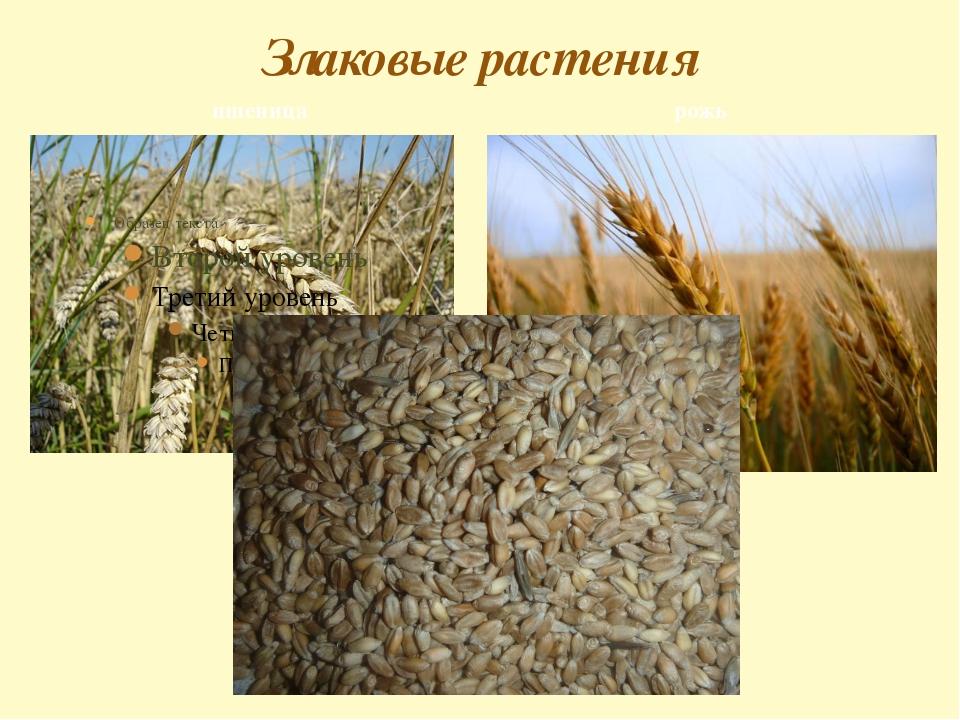 пшеница Злаковые растения рожь
