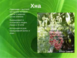 Хна Лавсония – высокий кустарник, который растет в жарком, сухом климате Выра