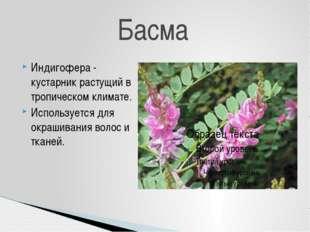 Индигофера - кустарник растущий в тропическом климате. Используется для окраш