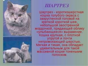 ШАРТРЕЗ Шартрез - короткошерстная кошка голубого окраса с закругленной голово