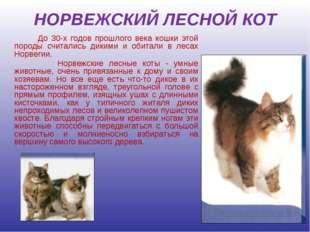 НОРВЕЖСКИЙ ЛЕСНОЙ КОТ До 30-х годов прошлого века кошки этой породы считались