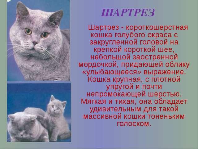 ШАРТРЕЗ Шартрез - короткошерстная кошка голубого окраса с закругленной голово...