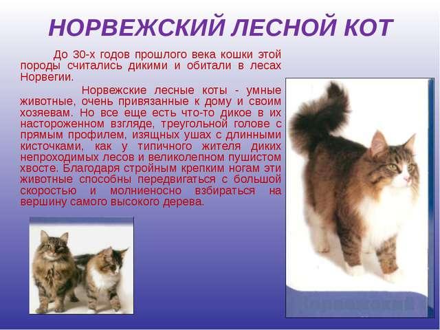 НОРВЕЖСКИЙ ЛЕСНОЙ КОТ До 30-х годов прошлого века кошки этой породы считались...