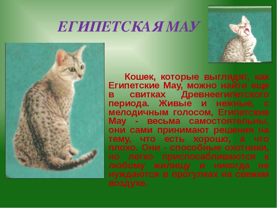 ЕГИПЕТСКАЯ МАУ Кошек, которые выглядят, как Египетские May, можно найти еще в...
