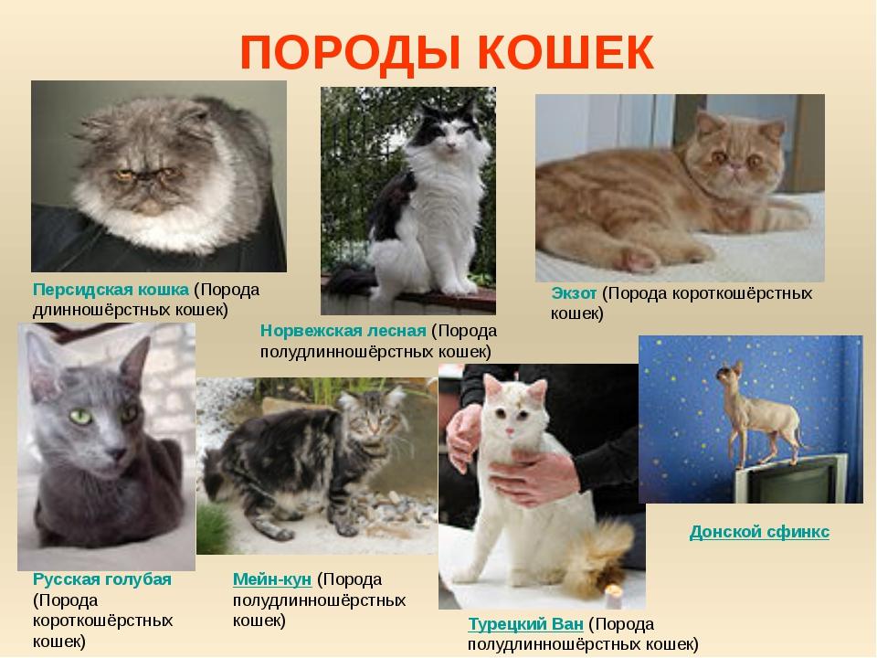 Породы домашних кошек и фото
