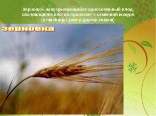 Зерновка- невскрывающийся односемянный плод, околоплодник плотно прилегает к
