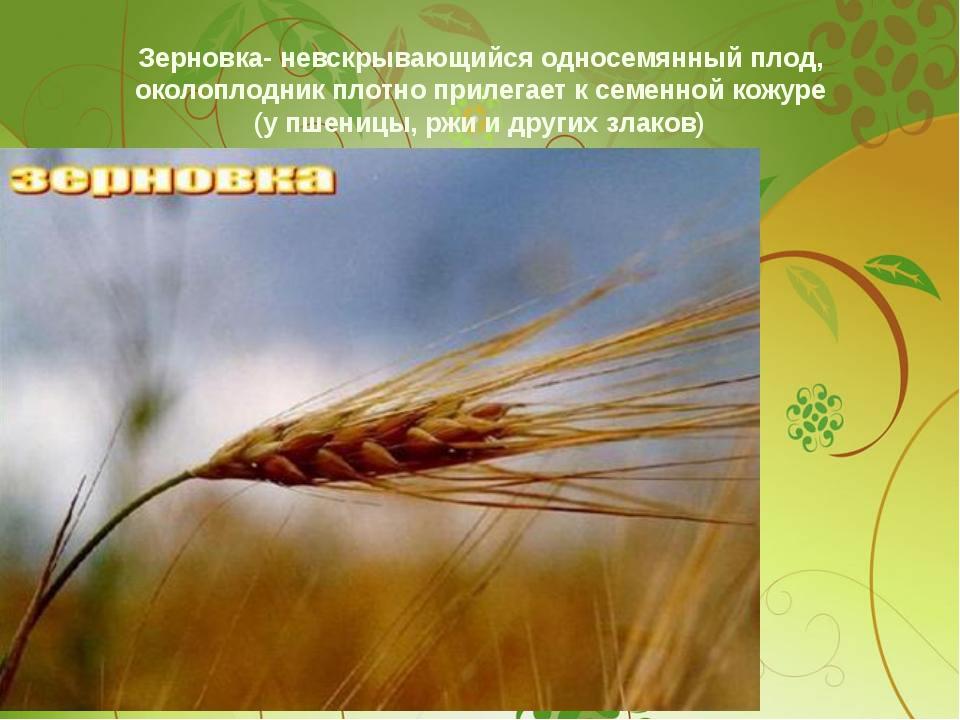 Зерновка- невскрывающийся односемянный плод, околоплодник плотно прилегает к...
