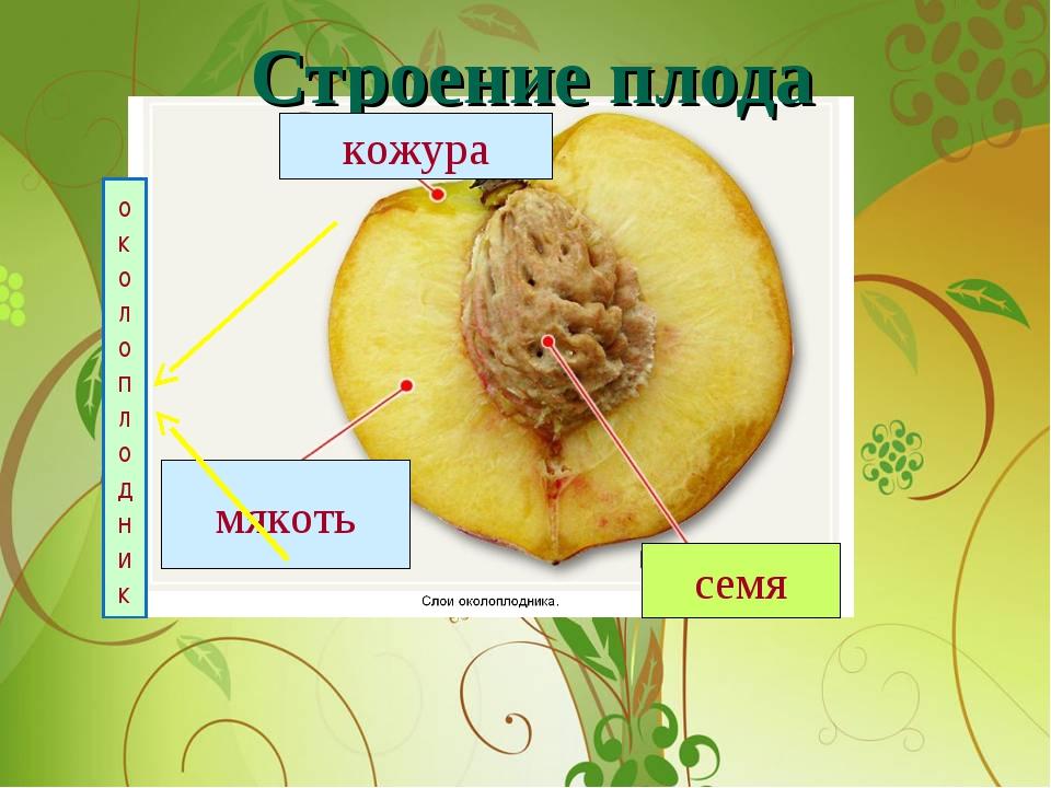 Строение плода кожура мякоть семя околоплодник