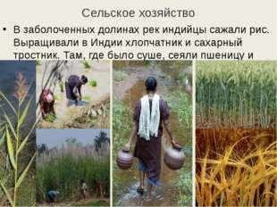 Сельское хозяйство В заболоченных долинах рек индийцы сажали рис. Выращивали