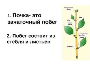 1. Почка- это зачаточный побег 2. Побег состоит из стебля и листьев