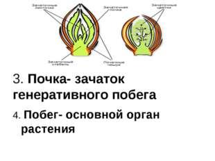 3. Почка- зачаток генеративного побега 4. Побег- основной орган растения