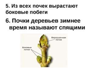5. Из всех почек вырастают боковые побеги 6. Почки деревьев зимнее время назы
