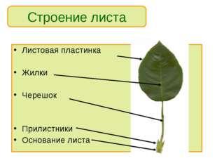 Листовая пластинка Жилки Черешок Прилистники Основание листа Строение листа