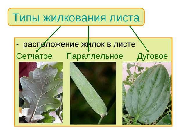 расположение жилок в листе Сетчатое Параллельное Дуговое Типы жилкования листа