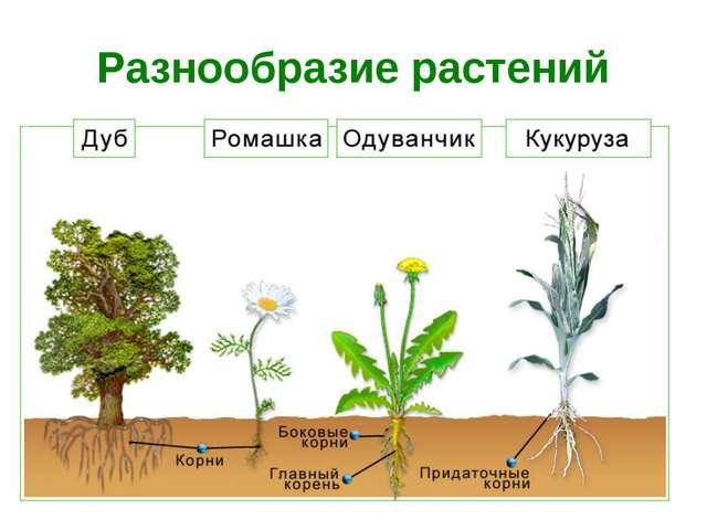Разнообразие растений