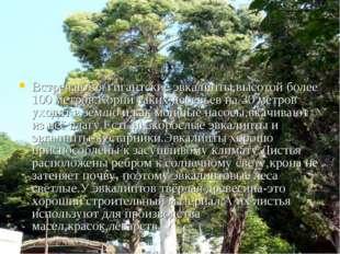 Встречаются гигантские эвкалипты,высотой более 100 метров.Корни таких деревье