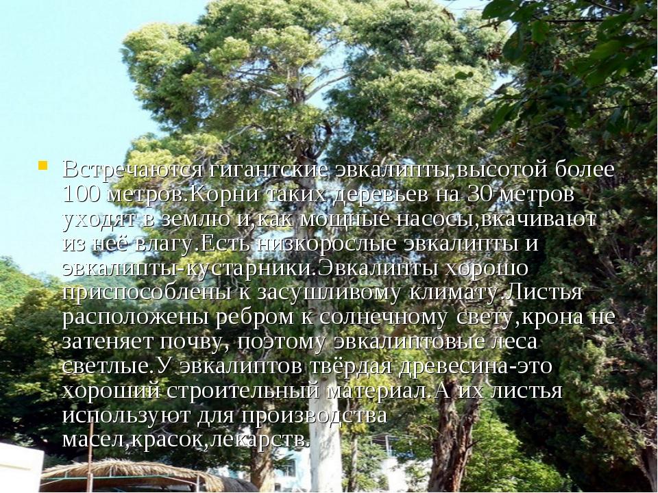 Встречаются гигантские эвкалипты,высотой более 100 метров.Корни таких деревье...