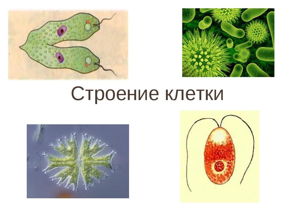 Строение клетки по биологии