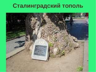 Сталинградский тополь