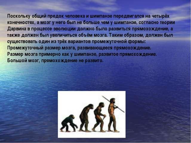 Поскольку общий предок человека и шимпанзе передвигался на четырёх конечностя...