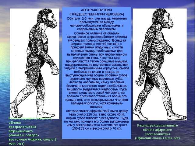 АВСТРАЛОПИТЕКИ (ПРЕДШЕСТВЕННИКИ ЧЕЛОВЕКА) Обитали 2-3 млн. лет назад. Анатоми...