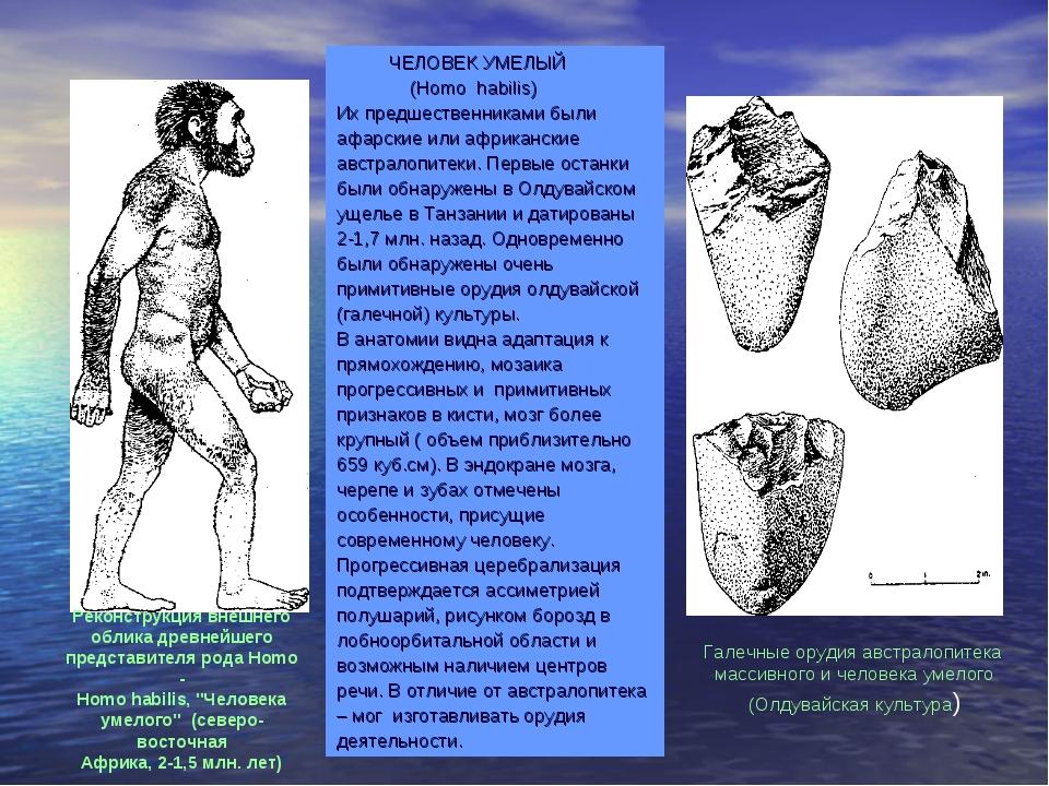 ЧЕЛОВЕК УМЕЛЫЙ (Homo habilis) Их предшественниками были афарские или африкан...