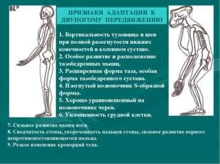 ПРИЗНАКИ АДАПТАЦИИ К ДВУНОГОМУ ПЕРЕДВИЖЕНИЮ 1. Вертикальность туловища и шеи