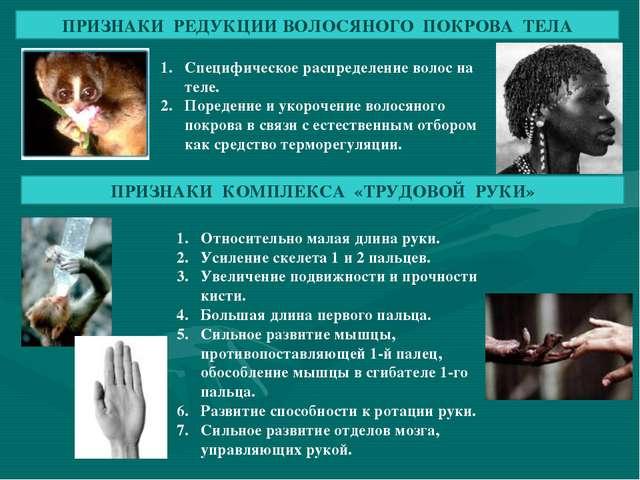 ПРИЗНАКИ РЕДУКЦИИ ВОЛОСЯНОГО ПОКРОВА ТЕЛА Специфическое распределение волос н...