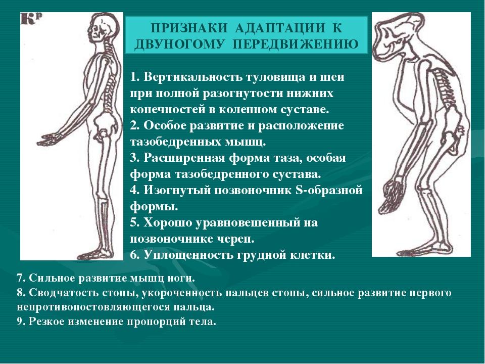 ПРИЗНАКИ АДАПТАЦИИ К ДВУНОГОМУ ПЕРЕДВИЖЕНИЮ 1. Вертикальность туловища и шеи...