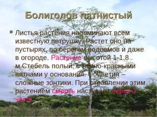 Болиголов пятнистый Листья растения напоминают всем известную петрушку. Расте