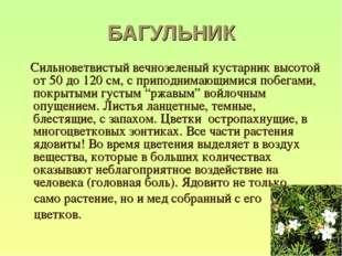 БАГУЛЬНИК Сильноветвистый вечнозеленый кустарник высотой от 50 до 120 см, с п