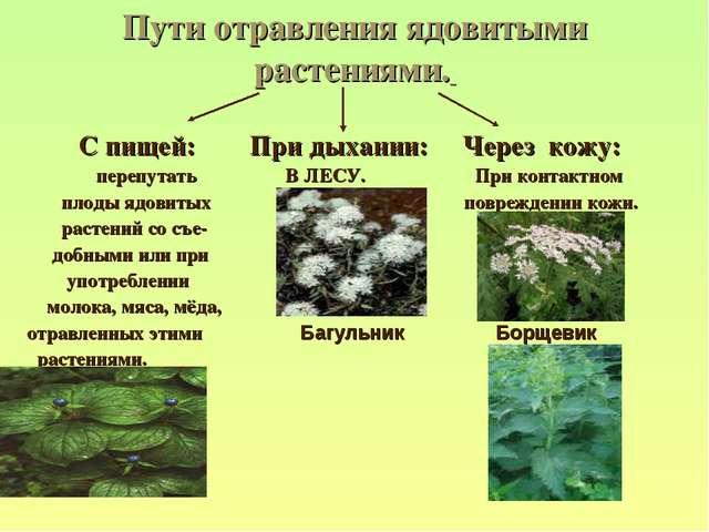 Пути отравления ядовитыми растениями. С пищей: При дыхании: Через кожу: переп...