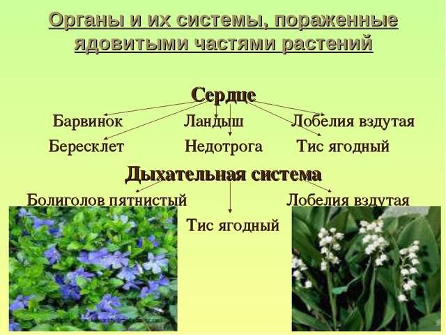 Органы и их системы, пораженные ядовитыми частями растений Сердце Барвинок Ла...