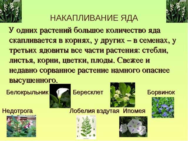 НАКАПЛИВАНИЕ ЯДА У одних растений большое количество яда скапливается в корня...