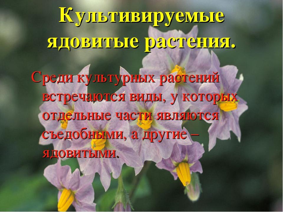 Культивируемые ядовитые растения. Среди культурных растений встречаются виды,...