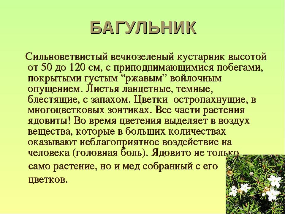 БАГУЛЬНИК Сильноветвистый вечнозеленый кустарник высотой от 50 до 120 см, с п...