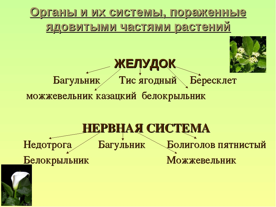 Органы и их системы, пораженные ядовитыми частями растений ЖЕЛУДОК Багульник...