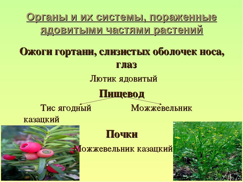 Органы и их системы, пораженные ядовитыми частями растений Ожоги гортани, сли...