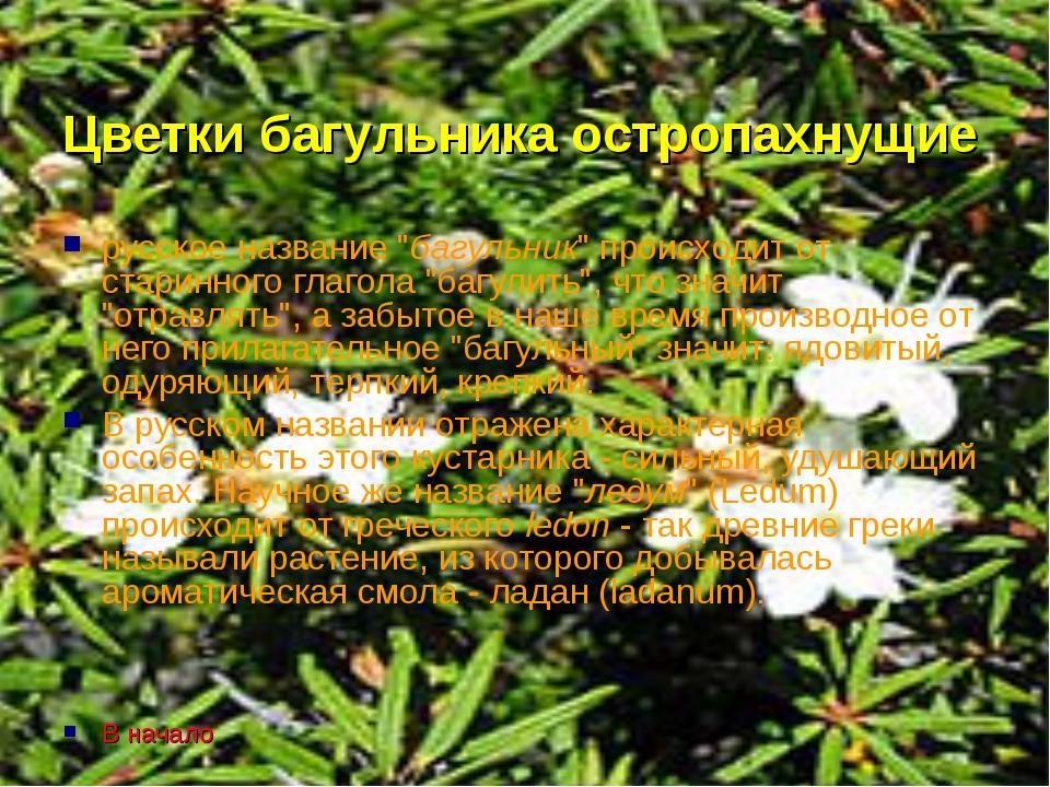 """Цветки багульника остропахнущие русское название """"багульник"""" происходит от ст..."""