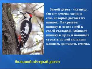 большой пёстрый дятел Зимой дятел - «кузнец». Он ест семена сосны и ели, кото