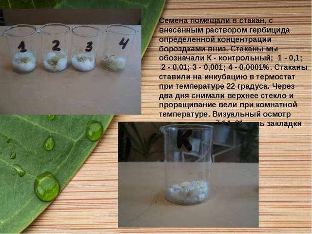 Семена помещали в стакан, с внесенным раствором гербицида определенной концен...