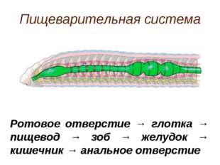 Пищеварительная система Ротовое отверстие → глотка → пищевод → зоб → желудок