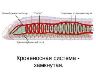 Кровеносная система - замкнутая. .