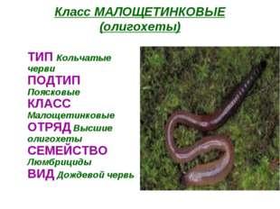 Класс МАЛОЩЕТИНКОВЫЕ (олигохеты) ТИП Кольчатые черви ПОДТИП Поясковые КЛАСС