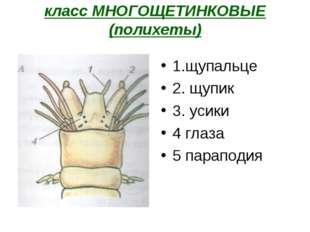 класс МНОГОЩЕТИНКОВЫЕ (полихеты) 1.щупальце 2. щупик 3. усики 4 глаза 5 парап